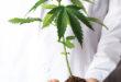 Marijuana has inspired many myths